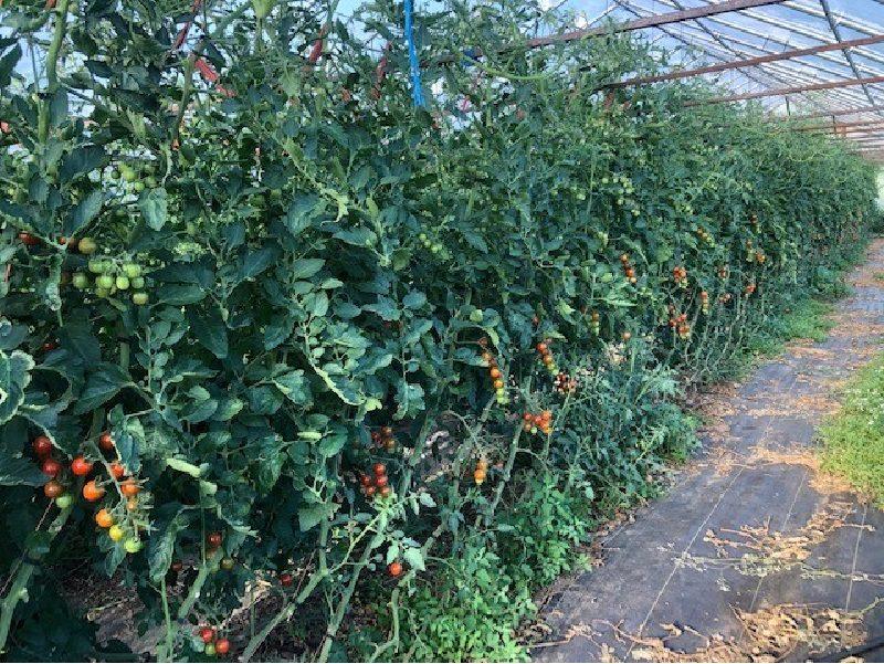 cherry tomatoes growing